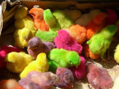 Bunt gefaerbte Kueken auf Vogelmarkt