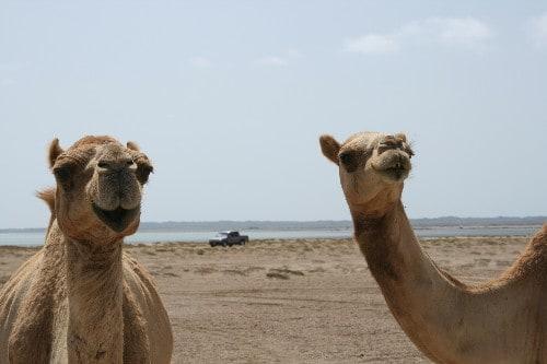 Kamele auf Masirah, Empfehlungen Nina Buschmann