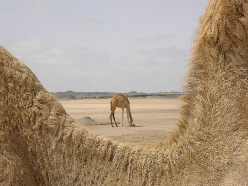 Kamel im Hintergrund