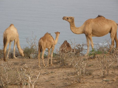 Kamele in Salalah, Oman, Zwischen Bikini und Abaya