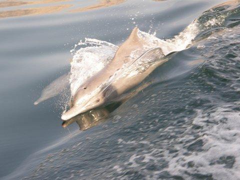 Delfin Musandam, Zwischen Bikini und Abaya